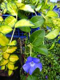 Vinca minor Illumination 1L Pot